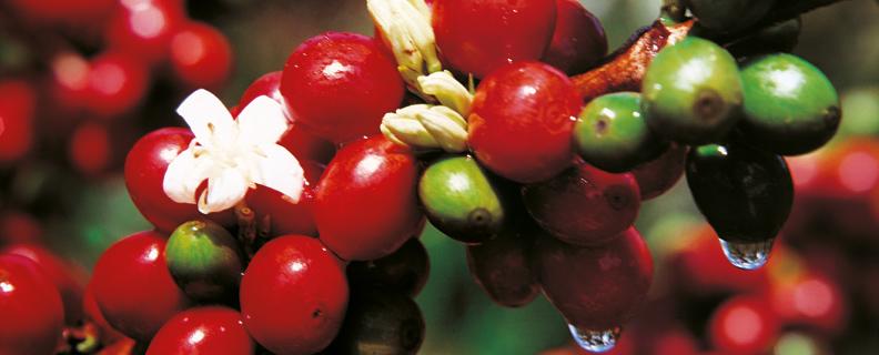 Kaffebär-på-buske